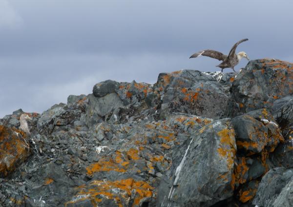 giantpetrel