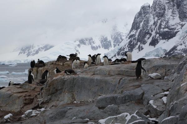 penguinsrookery3